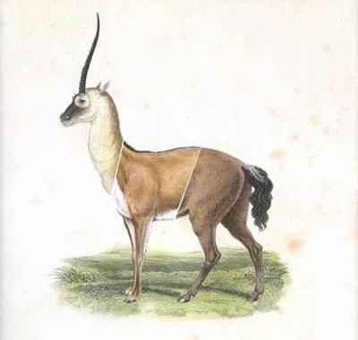 unicorn-chimera